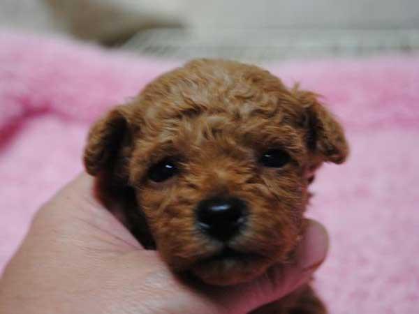 トイ・プードル、東京都ブリーダー子犬販売、レッド、女の子(メス)、ID6806