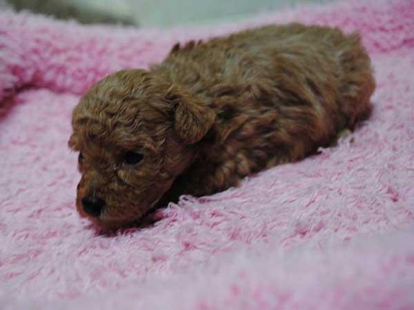トイ・プードル、東京都ブリーダー子犬販売、レッド、女の子(メス)、ID6806-2