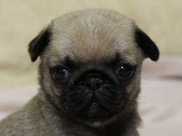 パグ子犬販売、フォーン、男の子(オス)、2014年06月01日産まれ、千葉県ブリーダー、High Quality Dog、ID6832