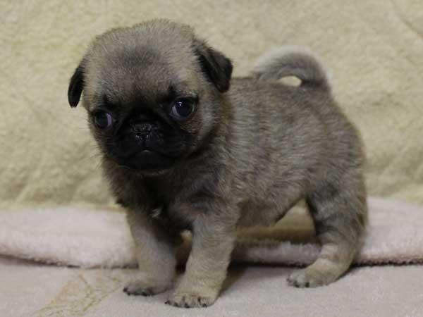 パグ子犬販売情報、男の子(オス)、フォーン、2014年05月31日産まれ、千葉県ブリーダー、ID6834