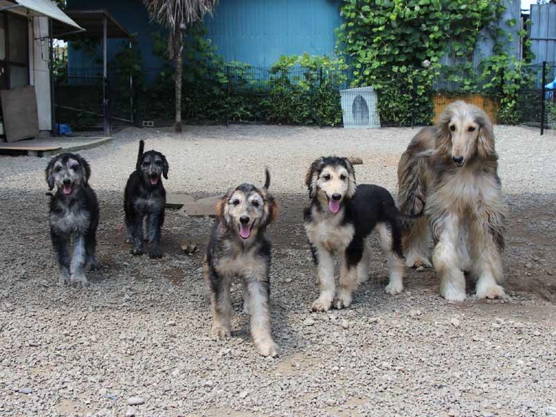 アフガン・ハウンド子犬、ブルーブリンドルドミノ、女の子(メス)、20140428産まれ。ID6896-4
