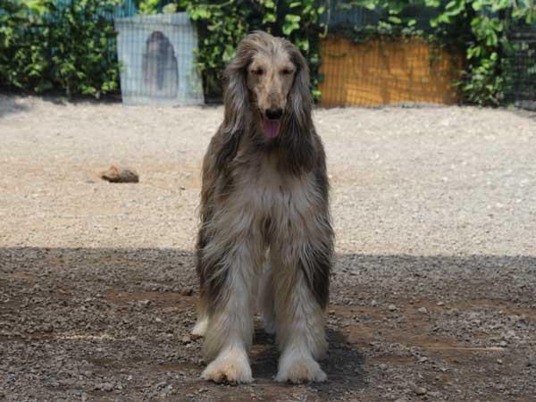 アフガン・ハウンド子犬、ブルーブリンドルドミノ、女の子(メス)、20140428産まれ。ID6896-5