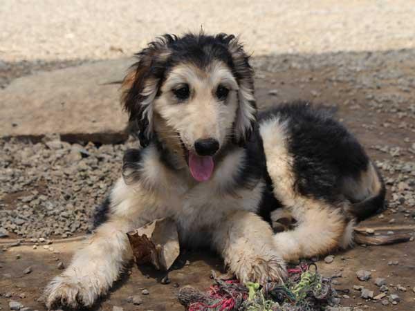 アフガン・ハウンド子犬、ブルードミノ、男の子(オス)、20140428産まれ。ID6893-2