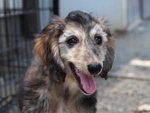 アフガン・ハウンド子犬、クリームブリンドルドミノ、女の子(メス)、20140428産まれ。ID6894-2