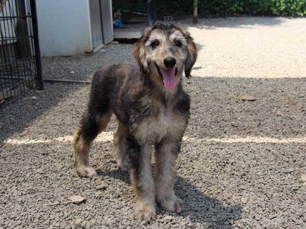 アフガン・ハウンド子犬、クリームブリンドルドミノ、女の子(メス)、20140428産まれ。ID6894-3