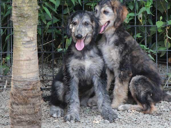 アフガン・ハウンド子犬、クリームブリンドルドミノ、女の子(メス)、20140428産まれ。ID6895-4