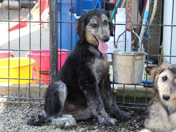 アフガン・ハウンド子犬、クリームブリンドルドミノ、女の子(メス)、20140428産まれ。ID6895-3