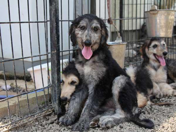 アフガン・ハウンド子犬、クリームブリンドルドミノ、女の子(メス)、20140428産まれ。ID6895-2