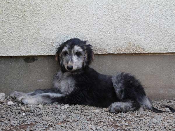 アフガン・ハウンド子犬、ブルーブリンドルドミノ、女の子(メス)、20140428産まれ。ID6896-3