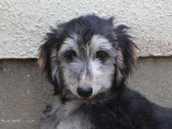 アフガン・ハウンド子犬、ブルーブリンドルドミノ、女の子(メス)、20140428産まれ。ID6896-2
