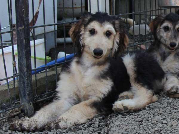 アフガン・ハウンド子犬、ブルードミノ、男の子(オス)、20140428産まれ。ID6893-3