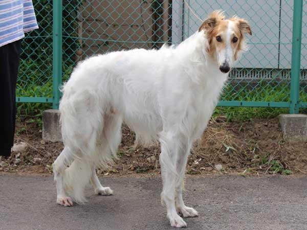 ボルゾイ、父犬、ホワイト&レッド、インターチャンピオン(INT.CH)直子、ID6898-6