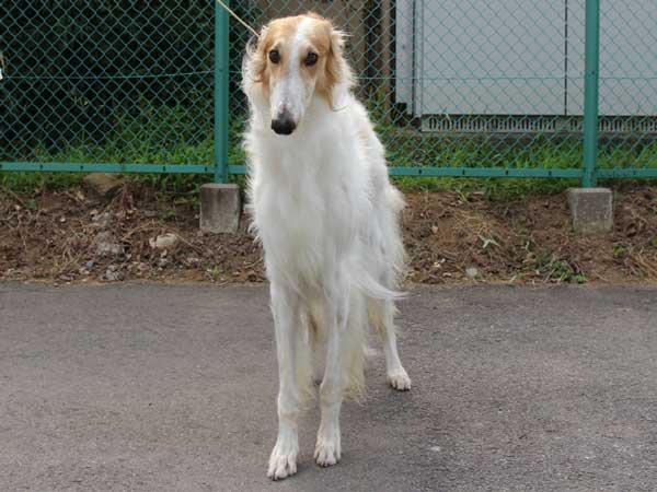 ボルゾイ、父犬、ホワイト&レッド、インターチャンピオン(INT.CH)直子、ID6898-5