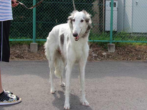 ボルゾイ、母犬、ホワイト&ブラック、アメリカンチャンピオン(AM.CH.)の孫、ID6898-8