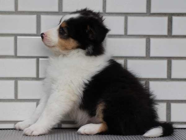 シェットランドシープドッグ(シェルティー、シェルティ)子犬販売、トライカラー、女の子(牝、雌、メス、Female)、東京都ブリーダー、ID6943