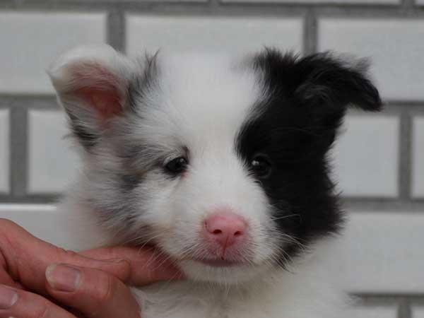 シェットランドシープドッグ(シェルティー、シェルティ)子犬販売、ブルーマール、男の子(オス)、2014年06月01日産まれ、東京都ブリーダー、ID6944