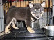 柴犬子犬販売、黒毛(黒柴)、男の子(オス)、2014年07月04日産まれ、大阪府ブリーダー、ID7297
