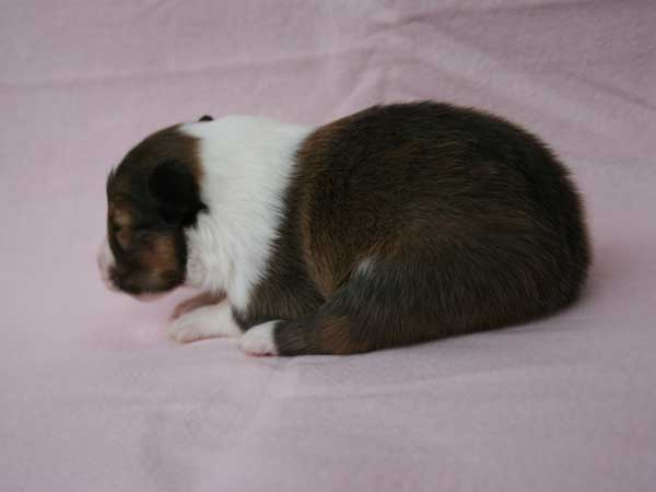 シェットランドシープドッグ(シェルティー、シェルティ)子犬販売、男の子(牡,雄,オス,Male)、セーブル(セーブル&ホワイト)2014年09月07日産まれ、神奈川県ブリーダー、ID7369
