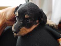 カニーンヘンダックスフンド子犬販売、ロングヘアード、ブラック&タン、男の子(オス)、2014年09月17日産まれ、大阪府ブリーダー、ID7514