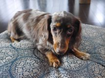カニーンヘンダックスフンド子犬販売、母犬、チョコダップル、ロングヘアード、ID7514、ID7515、ID7516