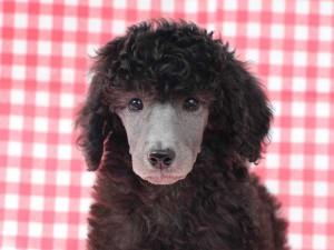 スタンダードプードル子犬販売情報。山梨県ブリーダー。女の子(メス)、シルバー、誕生日2014年8月30日。ID7541