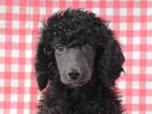 スタンダードプードル子犬販売情報。山梨県ブリーダー。男の子(オス)、ブルー(ブラックになる可能性あり)、誕生日2014年8月30日。ID7542
