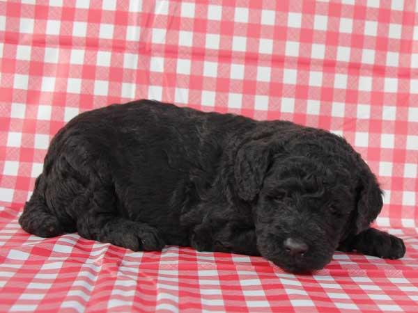 スタンダードプードル子犬販売情報。山梨県ブリーダー。男の子(オス)、ブルー(ブラックになる可能性あり)、誕生日2014年10月01日。ID7543