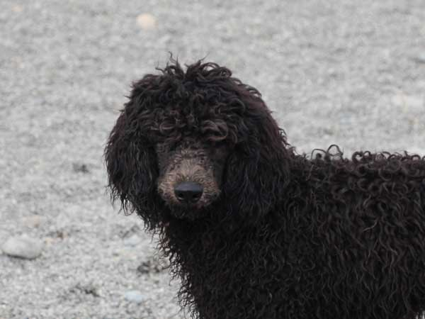 スタンダードプードル子犬販売情報。山梨県ブリーダー。男の子(オス)、ブルー、誕生日2014年03月20日。ID7544