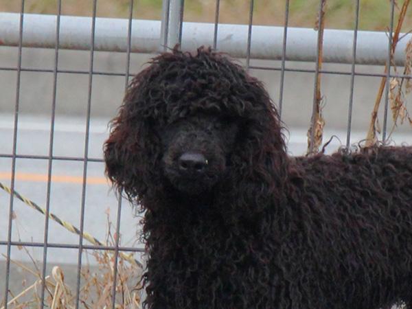 スタンダードプードル(スタンプー)子犬販売情報。山梨県ブリーダー。男の子(オス)、ブラック、誕生日2014年03月20日。ID7545