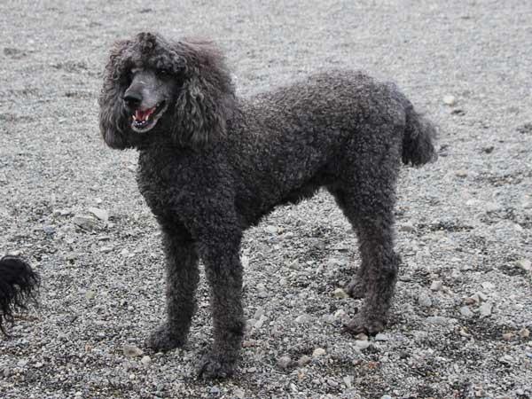 スタンダードプードル(スタンプー)子犬販売、男の子(オス)、ブルー、母犬、ID7544、ID7545