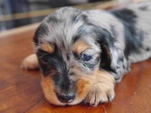 カニーンヘンダックスフンド子犬販売、ロングヘアード、シルバーダップル、女の子(メス)、2014年09月17日産まれ、大阪府ブリーダー、ID7516