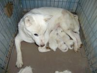 北海道犬子犬販売、男の子(オス)、女の子(メス)、白毛、2014年11月24日産まれ、大阪府ブリーダー、ID7798、ID7799、ID7800、ID7801