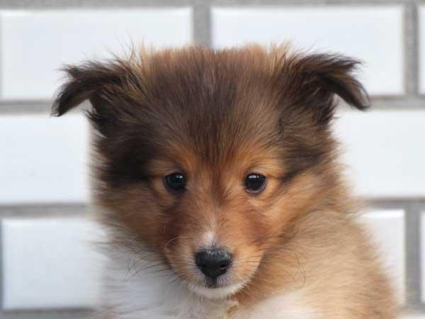 シェットランドシープドッグ(シェルティー、シェルティ)子犬販売、セーブル&ホワイト、男の子(オス)、東京都ブリーダー、ID7648