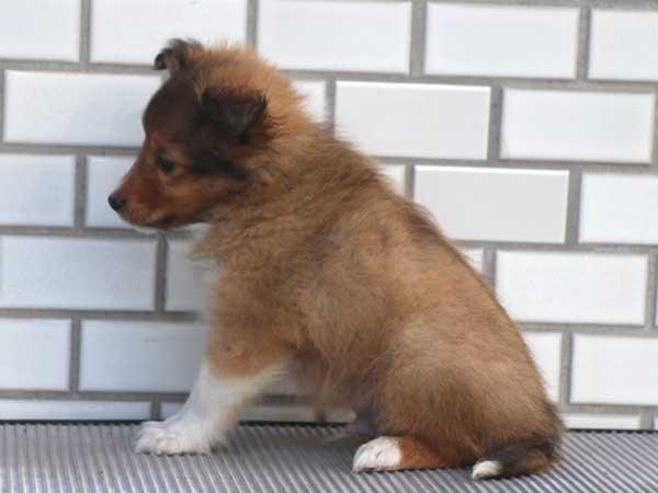 シェットランドシープドッグ(シェルティー、シェルティ)子犬販売、セーブル&ホワイト、男の子(オス)、東京都ブリーダー、ID7648-2