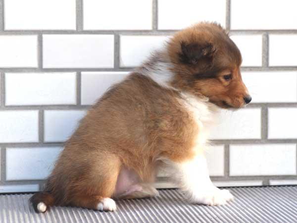 シェットランドシープドッグ(シェルティー、シェルティ)子犬販売、セーブル&ホワイト、男の子(オス)、東京都ブリーダー、ID7648-3