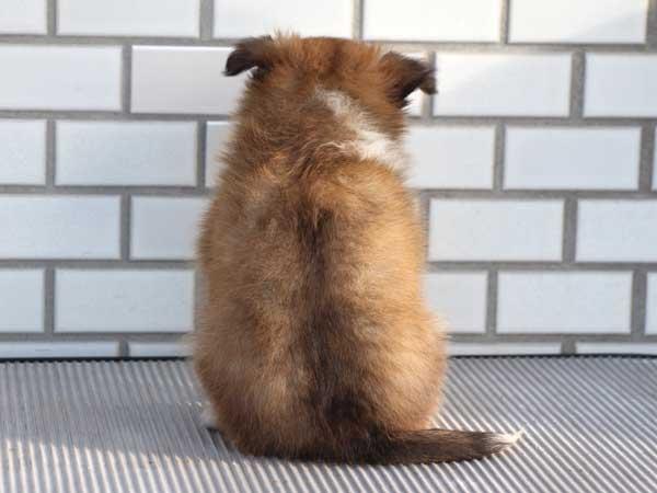 シェットランドシープドッグ(シェルティー、シェルティ)子犬販売、セーブル&ホワイト、男の子(オス)、東京都ブリーダー、ID7648-5