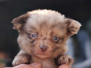 ミックス犬(ポメックス)子犬販売、男の子(オス)、チョコダップル、2014年10月04日産まれ、東京都ブリーダー、ID7649