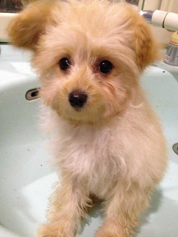ミックス犬(マルプー)子犬販売、女の子(メス)、アプリコット、2014年08月09日産まれ、埼玉県ブリーダー、ID7797