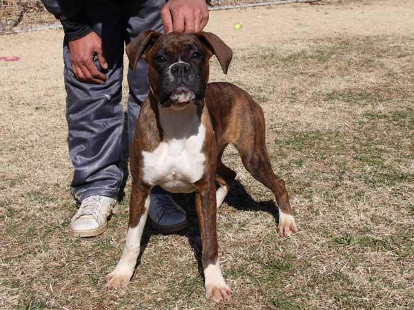 ボクサー子犬販売情報、千葉県ブリーダー、女の子(メス)、ブリンドル、2014年6月27日生れ、ID8242