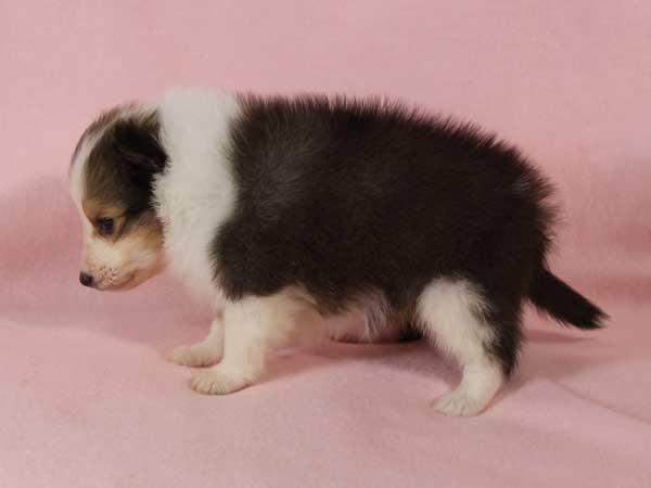 シェットランド・シープドッグ(シェルティー、シェルティ)子犬販売。セーブル&ホワイト、フルカラー、女の子(メス)、2015年1月23日生れ、神奈川県ブリーダー。ID8282
