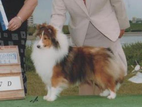 シェットランド・シープドッグ(シェルティー、シェルティ)子犬販売。セーブル&ホワイト、フルカラー、女の子(メス)、2015年1月23日生れ、神奈川県ブリーダー。ID8283