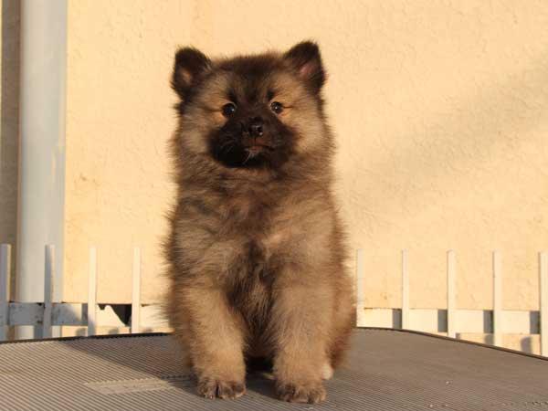 キースホンド子犬販売情報。ウルフグレー、女の子(メス)、2015年1月26日生れ、東京都ブリーダー。ID8378