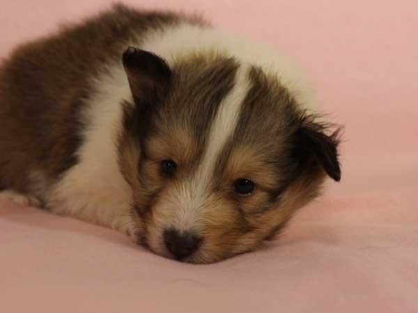シェットランドシープドッグ子犬販売情報、セーブル&ホワイト、男の子(オス)、2015年3月10日生れ、フルカラー、ブレーズ有り、神奈川県ブリーダー、ID8401