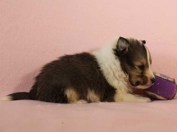 シェットランドシープドッグ(シェルティー、シェルティ)子犬販売情報、セーブル&ホワイト、男の子(オス)、2015年3月10日生れ、フルカラー、ブレーズ有り、神奈川県ブリーダー、ID8402
