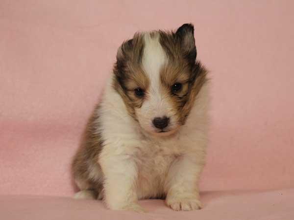 シェットランドシープドッグ(シェルティー、シェルティ)子犬販売情報、セーブル&ホワイト、女の子(メス)、2015年3月10日生れ、フルカラー、ブレーズ有り、神奈川県ブリーダー、ID8405