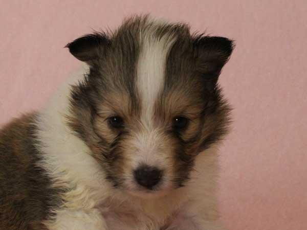 シェットランドシープドッグ(シェルティー、シェル... ID番号 8406 犬種 シェットランド