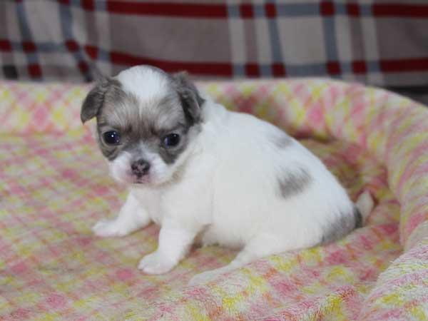 チワワロングコート子犬販売、グレー&ホワイト、女の子(メス)、2015年3月23日生れ、東京都(23区)ブリーダー、ID8438