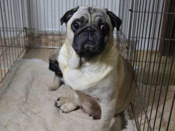 パグ子犬販売情報、フォーン、男の子(オス)、2015年5月7日生れ、千葉県ブリーダー、ID8670