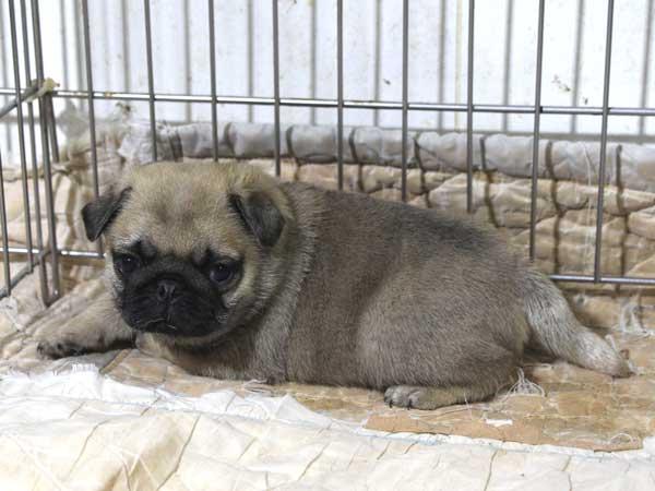 パグ子犬販売情報、フォーン、男の子(オス)、2015年5月7日生れ、千葉県ブリーダー、ID8671