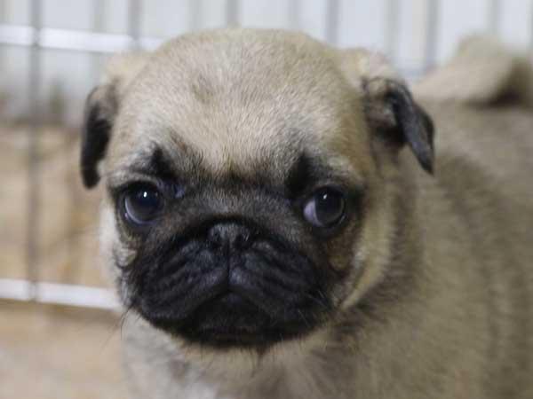 パグ子犬販売情報、フォーン、男の子(オス)、2015年5月7日生れ、千葉県ブリーダー、ID8672